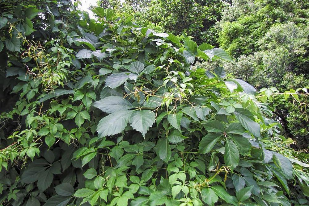 Parthenocissus quinquefolia-rq-20140611-1a.jpg
