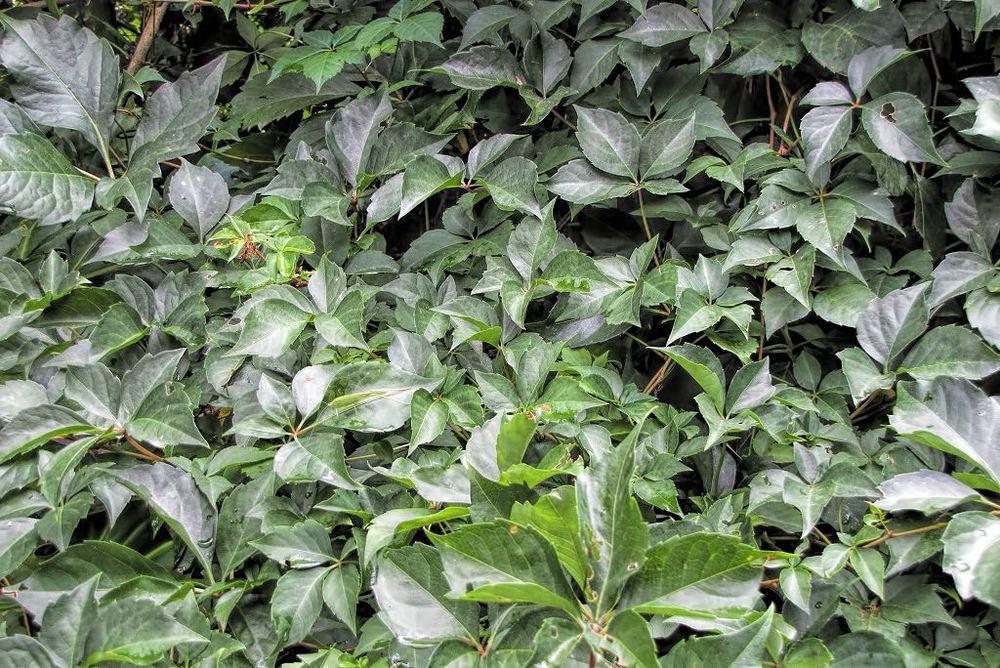 Parthenocissus quinquefolia-rq-20130914-1b.jpg