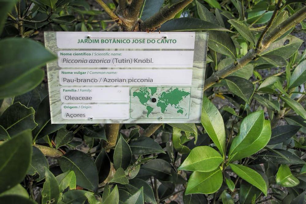 Picconia azorica-rq-20140613-1a.jpg