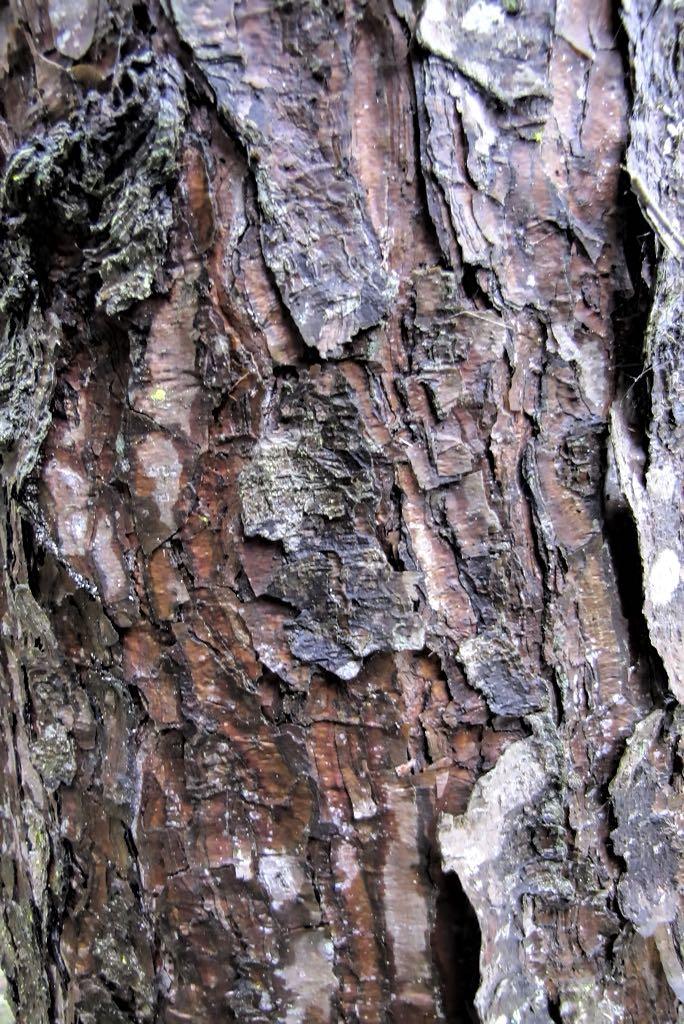 Pinus sylvestris-rq-20140110-1g.jpg