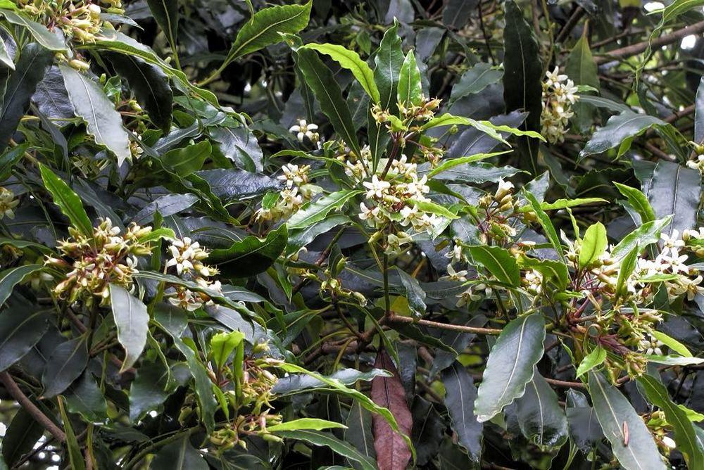 Pittosporum undulatum-rq-20110220-1a.jpg