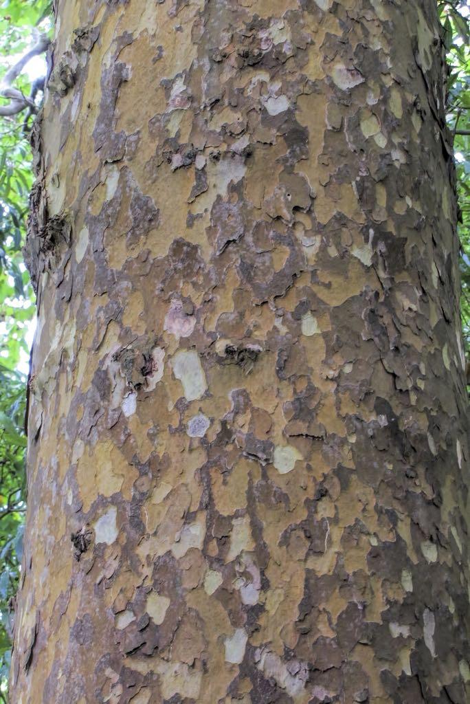 Platanus x acerifolia-rq-20130914-1p.jpg