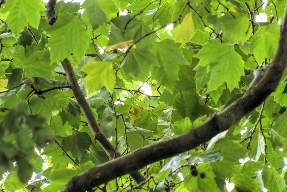 Platanus x acerifolia-rq-20130914-1b.jpg
