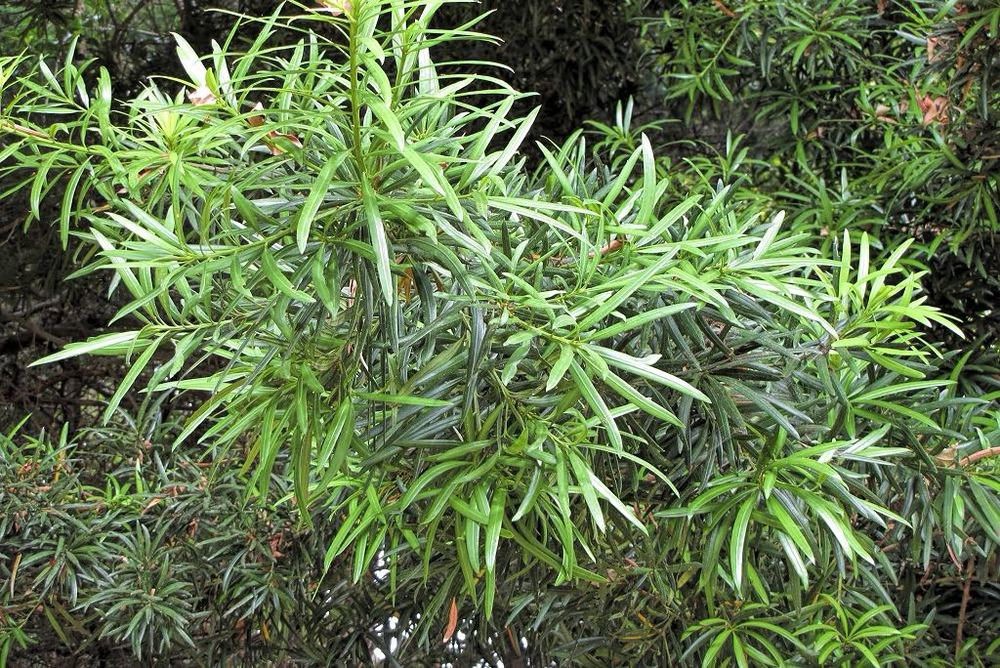 Podocarpus macrophyllus-rq-20130915-5b.jpg