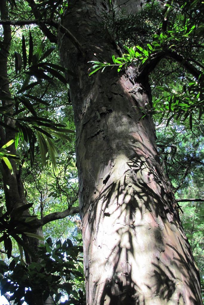 Podocarpus macrophyllus-rq-20140612-1a.jpg