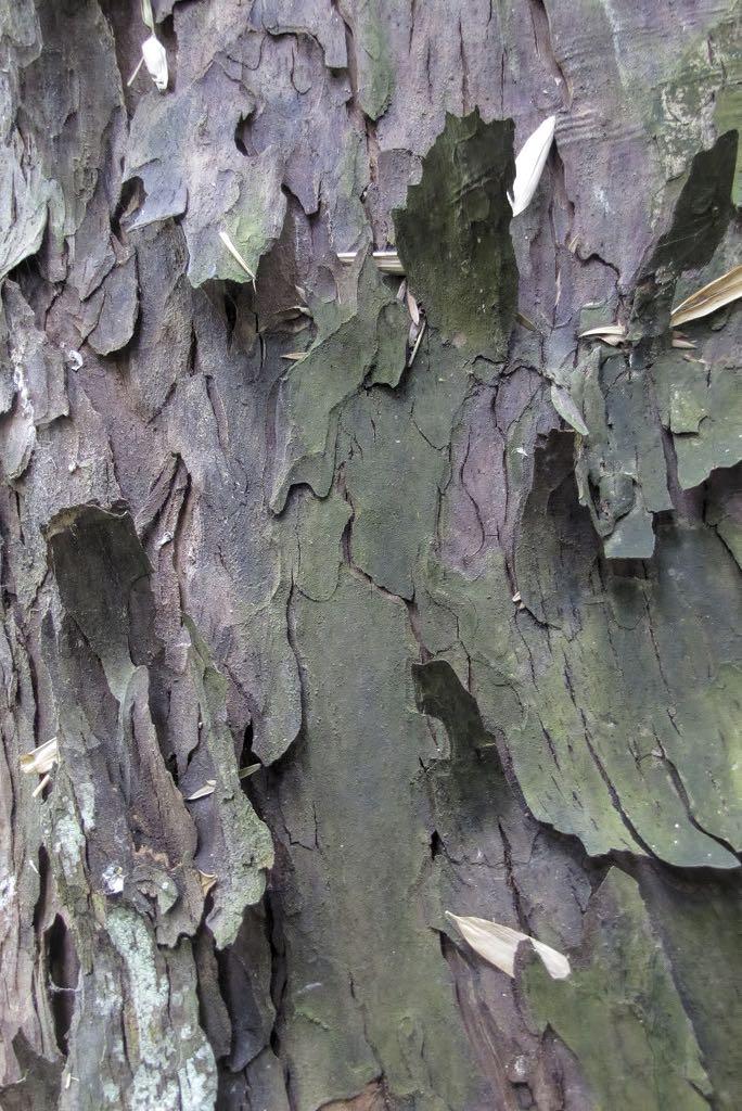Podocarpus totara-rq-20140617-1b.jpg