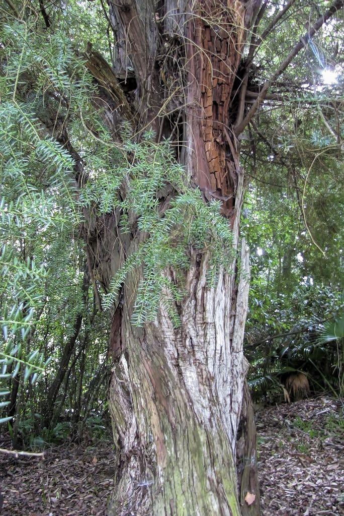 Podocarpus totara-rq-20140113-2g.jpg