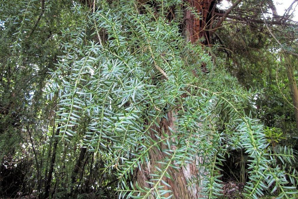 Podocarpus totara-rq-20140113-2b.jpg