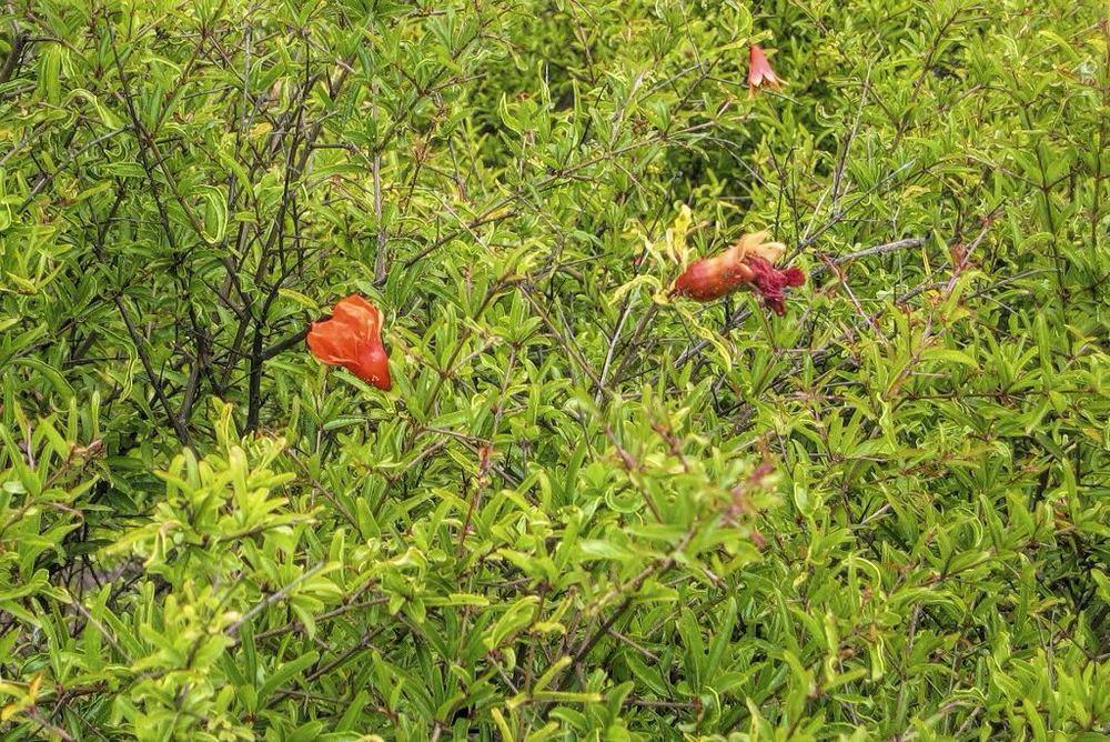 Punica granatum nana-rq-20040520-1f.jpg