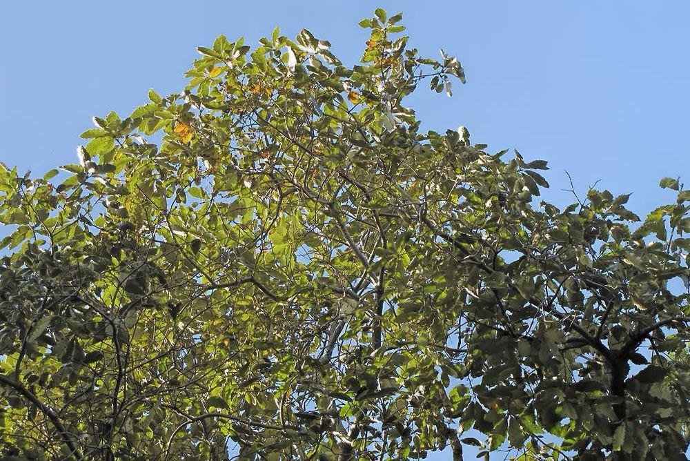 Quercus acutisima-rq-20140113-1m.jpg