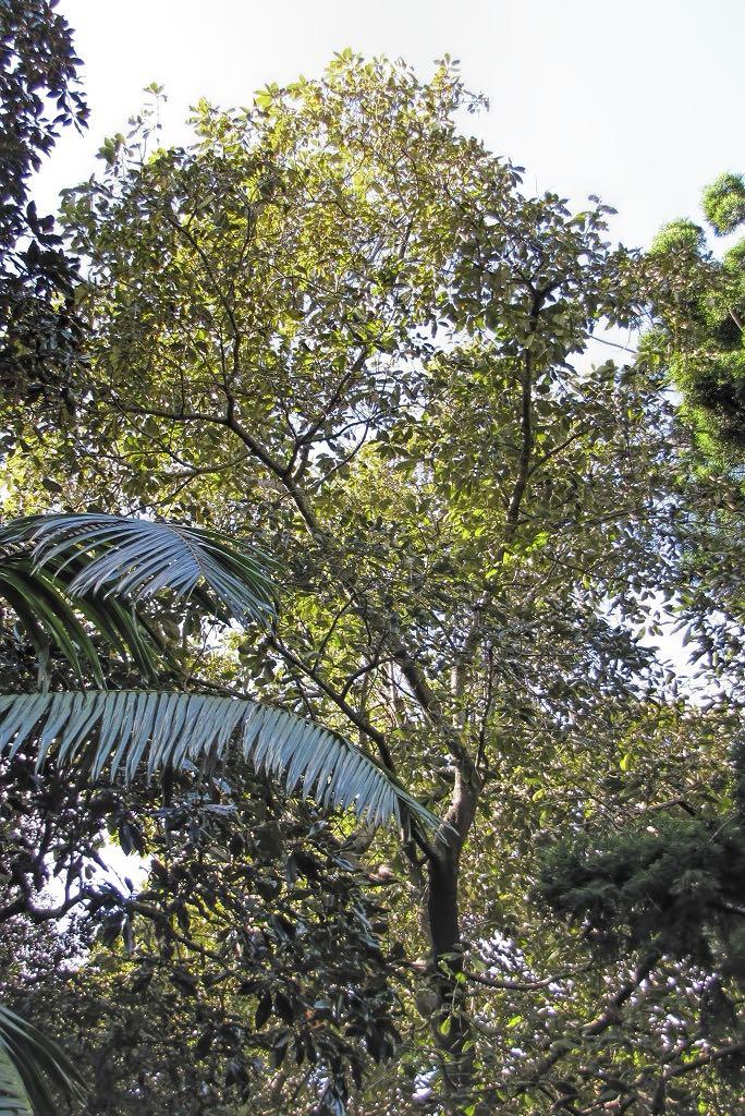 Quercus acutisima-rq-20140113-1e.jpg