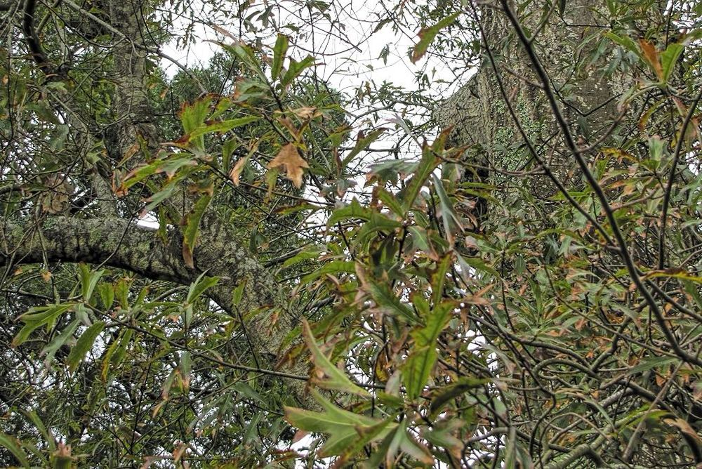 Quercus falcata-rq-20140110-1b.jpg