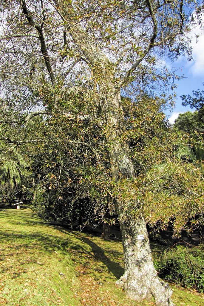 Quercus falcata-rq-20140113-1b.jpg