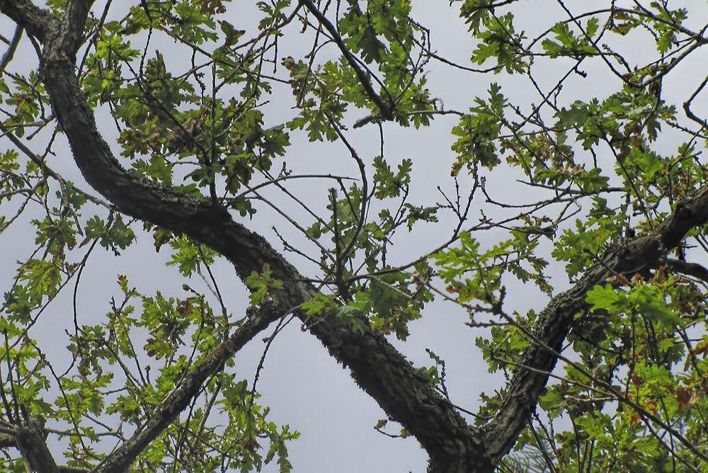 Quercus robur-rq-20130914-1a.jpg
