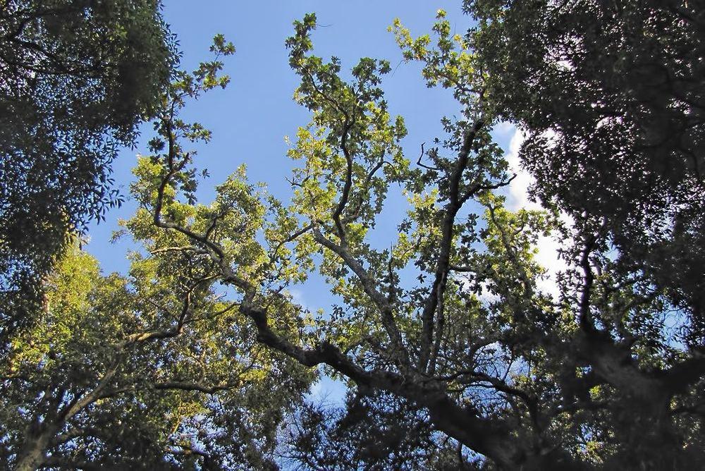 Quercus robur-rq-20130914-2d.jpg