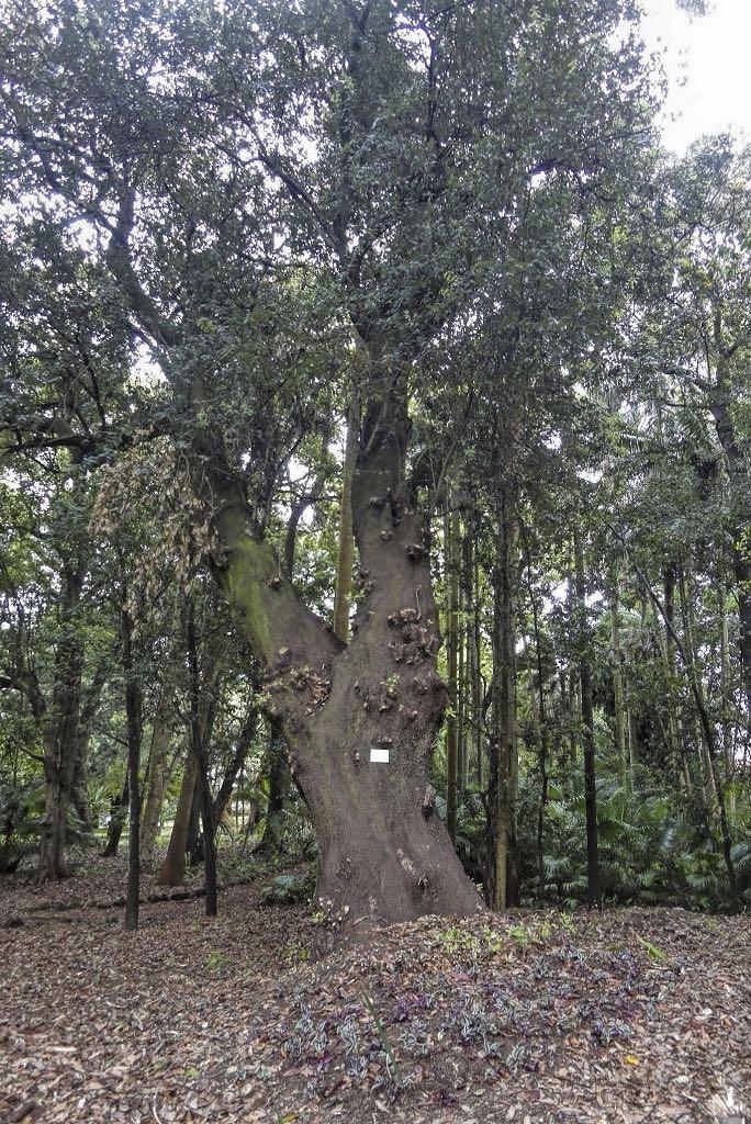 Quercus rotundifolia-rq-20140508-1b.jpg