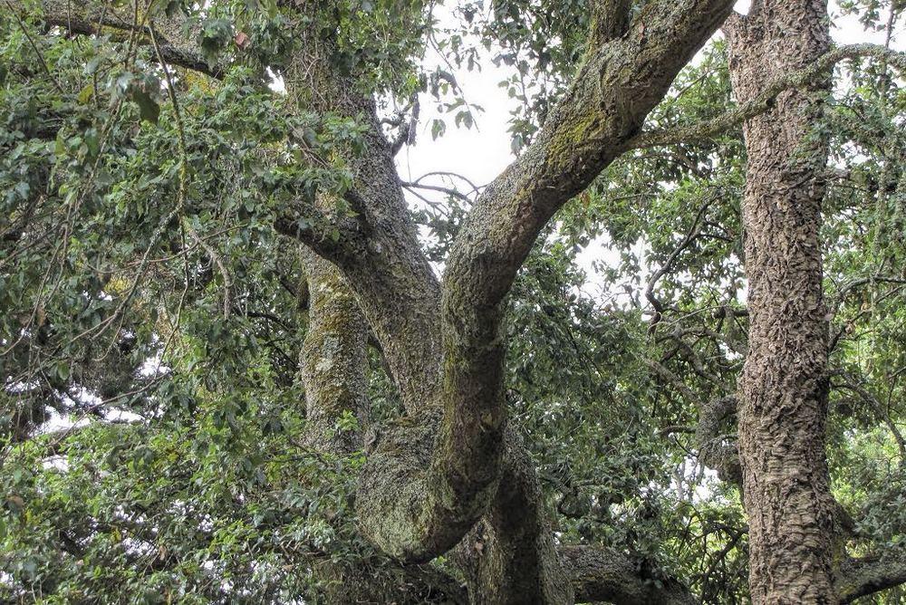 Quercus suber-rq-20130914-1m.jpg