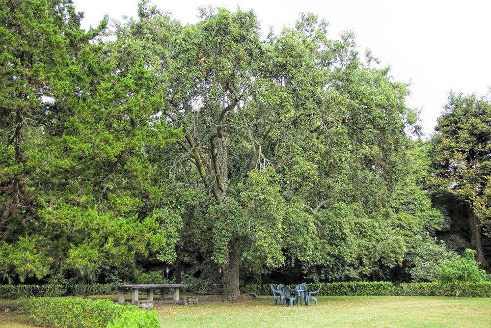 Quercus suber-rq-20130914-1c.jpg