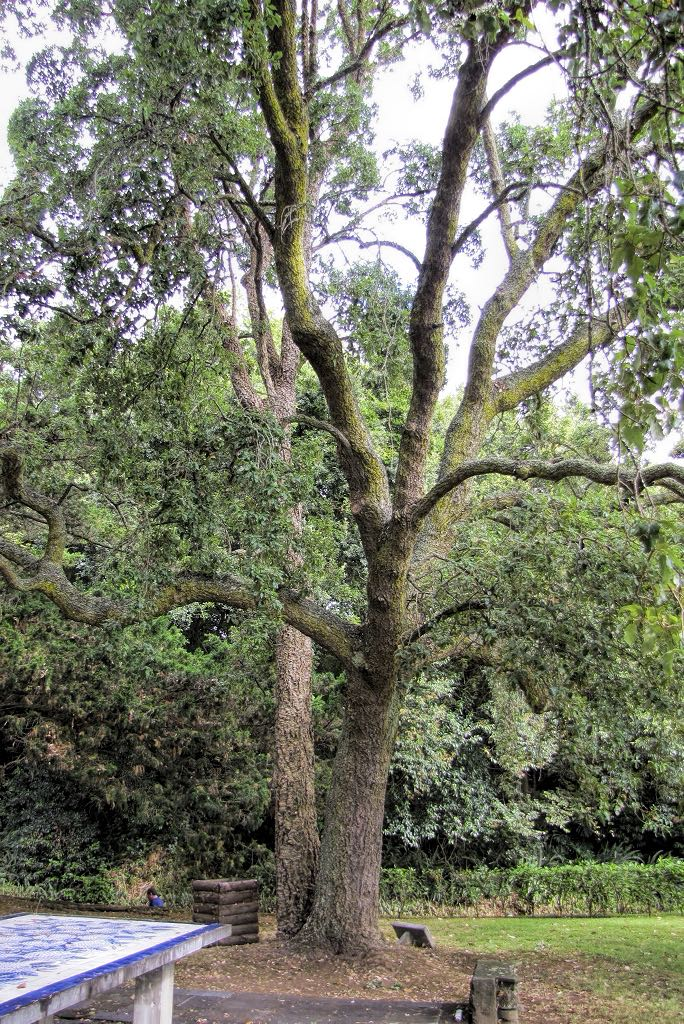 Quercus suber-rq-20130914-1b.jpg
