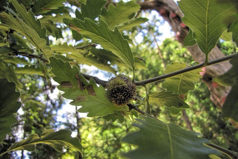 Quercus x hispanica-rq-20140617-1a.jpg