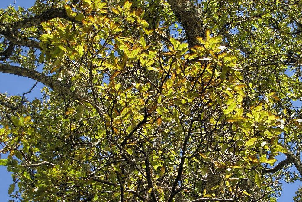 Quercus x hispanica-rq-20140113-1e.jpg