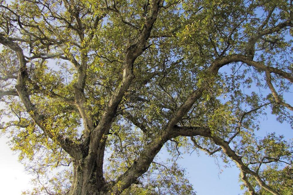 Quercus x hispanica-rq-20140111-1b.jpg