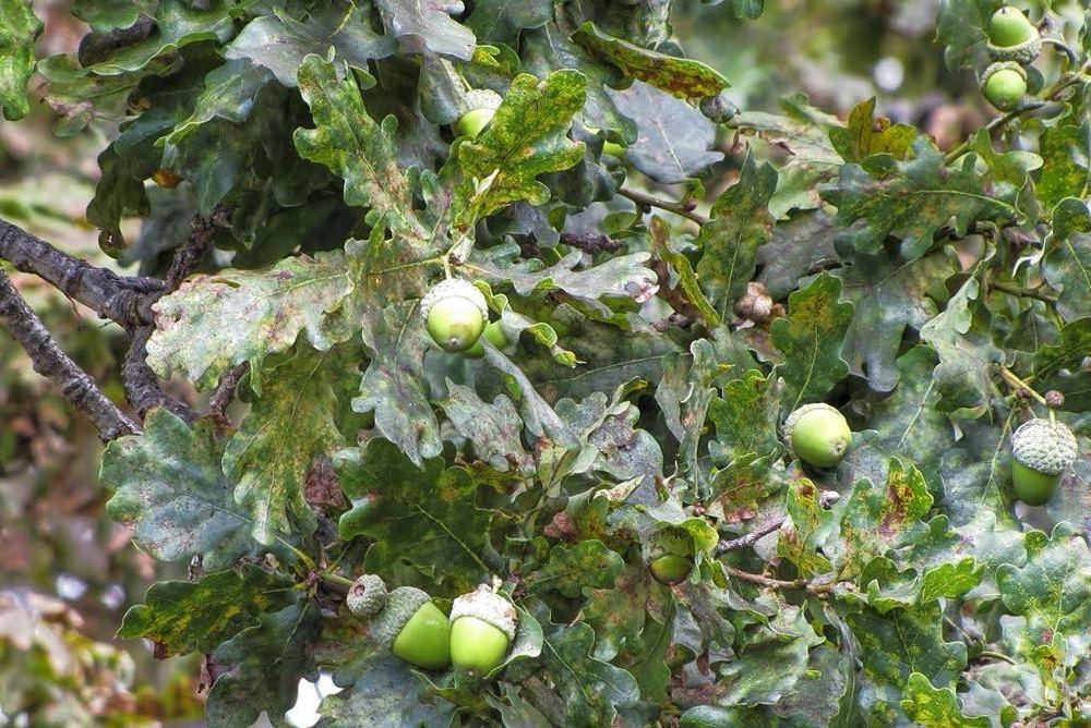 Quercus robur-rq-20110706-1b.jpg
