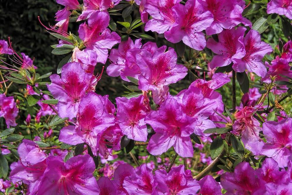 Rhododendron indicum-rq-20030419-1b.jpg