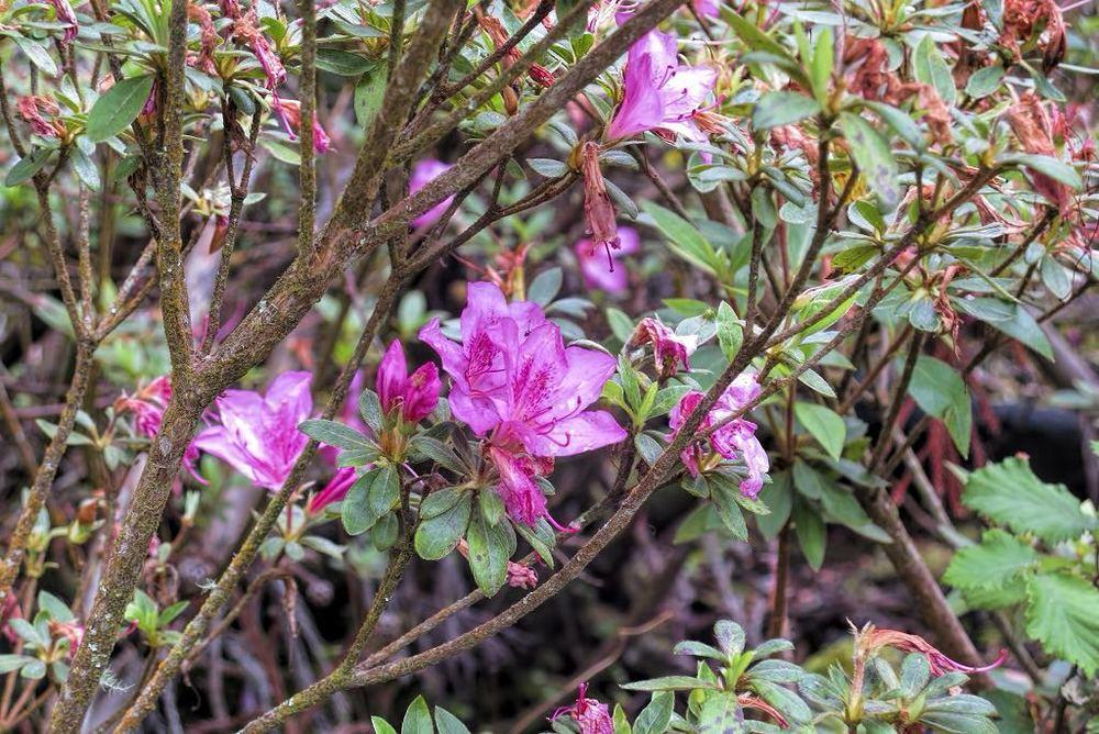Rhododendron indicum-rq-20090610-1p.jpg