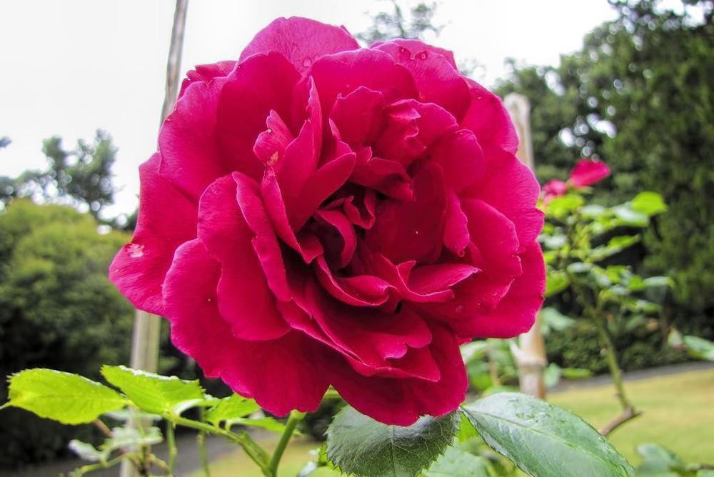 Rosa cv-rq-20130915-5a.jpg