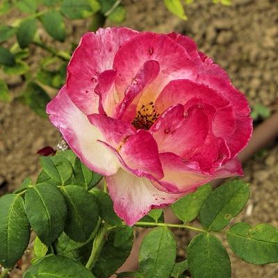 Rosa  cvs.