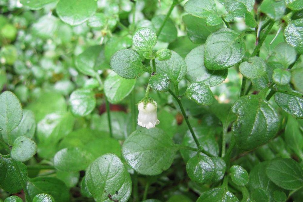 Salpichroa origanifolia-rq-20141014-1j.jpg