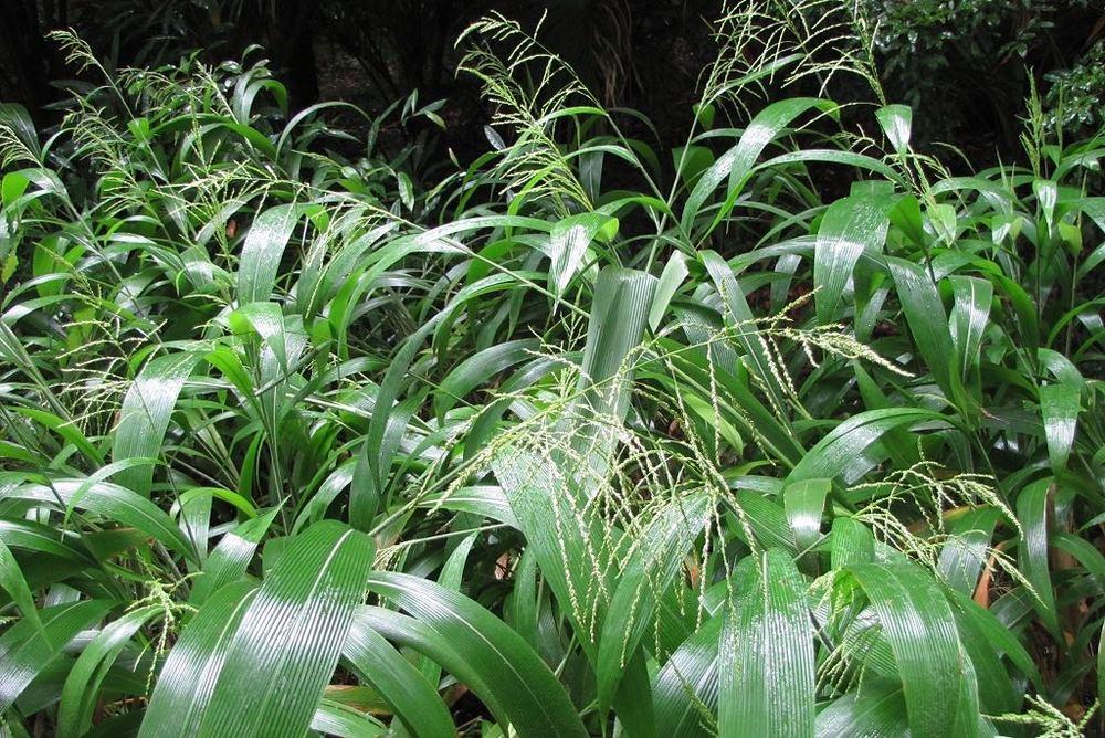 Setaria palmifolia-rq-20141014-1a.jpg