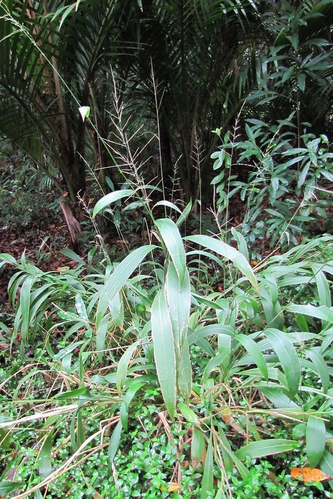 Setaria palmifolia-rq-20140110-1e.jpg