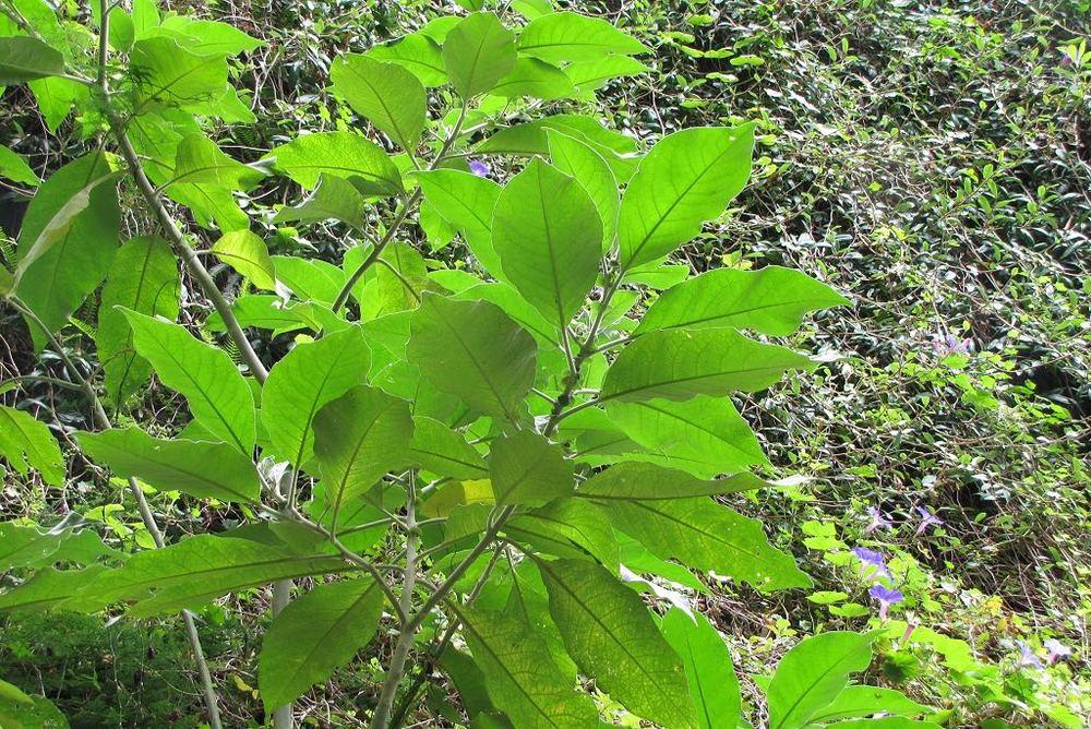 Solanum mauritianum-rq-20130915-1a.jpg