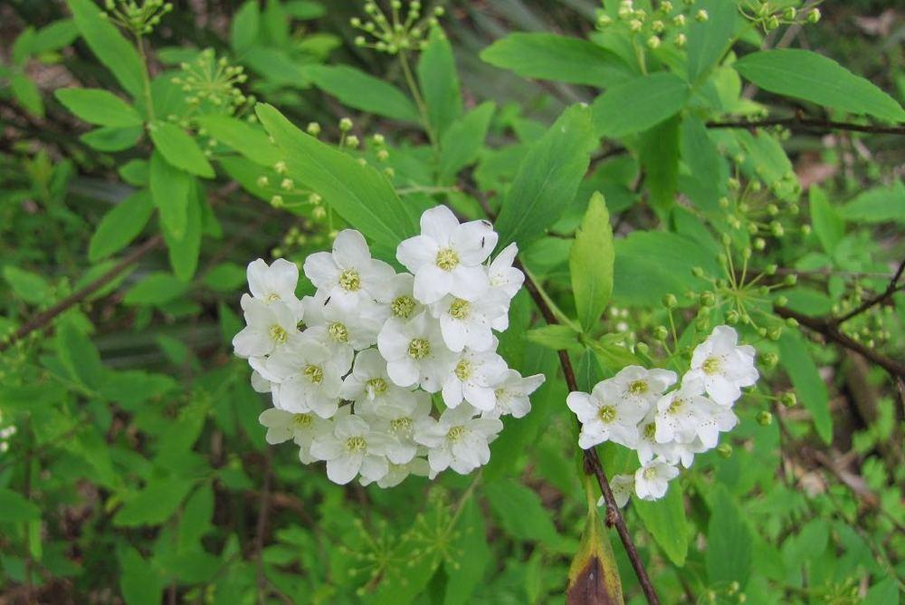 Spiraea cantoniensis-rq-20120317-1u.jpg