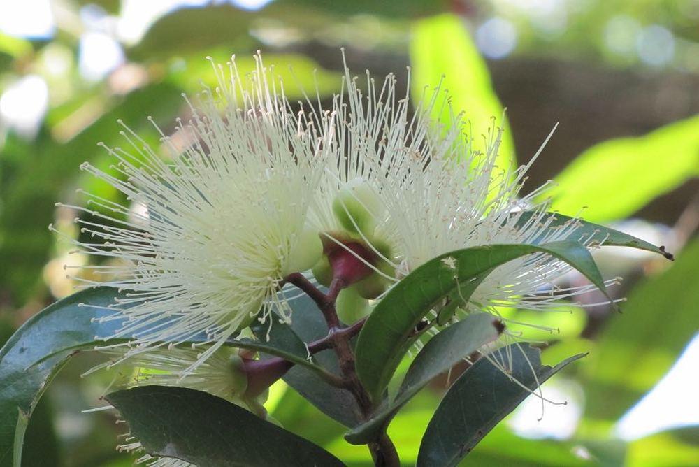 Syzygium jambos-rq-20140611-1a.jpg