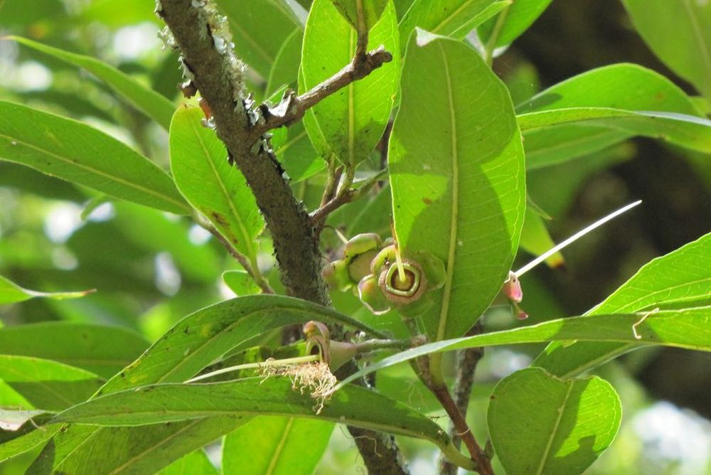 Syzygium paniculatum-rq-20130914-4s.jpg