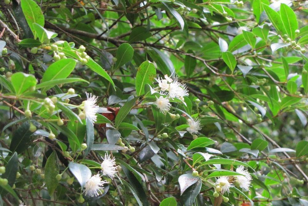 Syzygium paniculatum-rq-20130914-4e.jpg