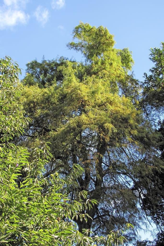 Taxodium distichum-rq-20130914-1j.jpg