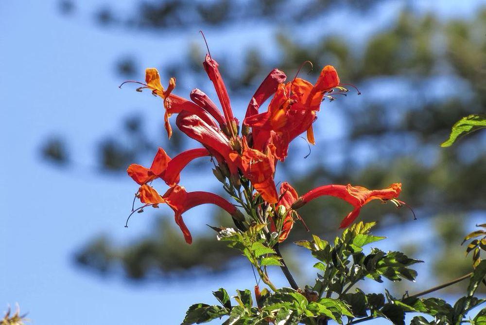 Tecomaria capensis-rq-20140323-1c.jpg