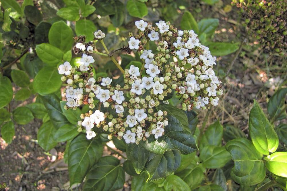 Viburnum treleasei-rq-20140613-1d.jpg