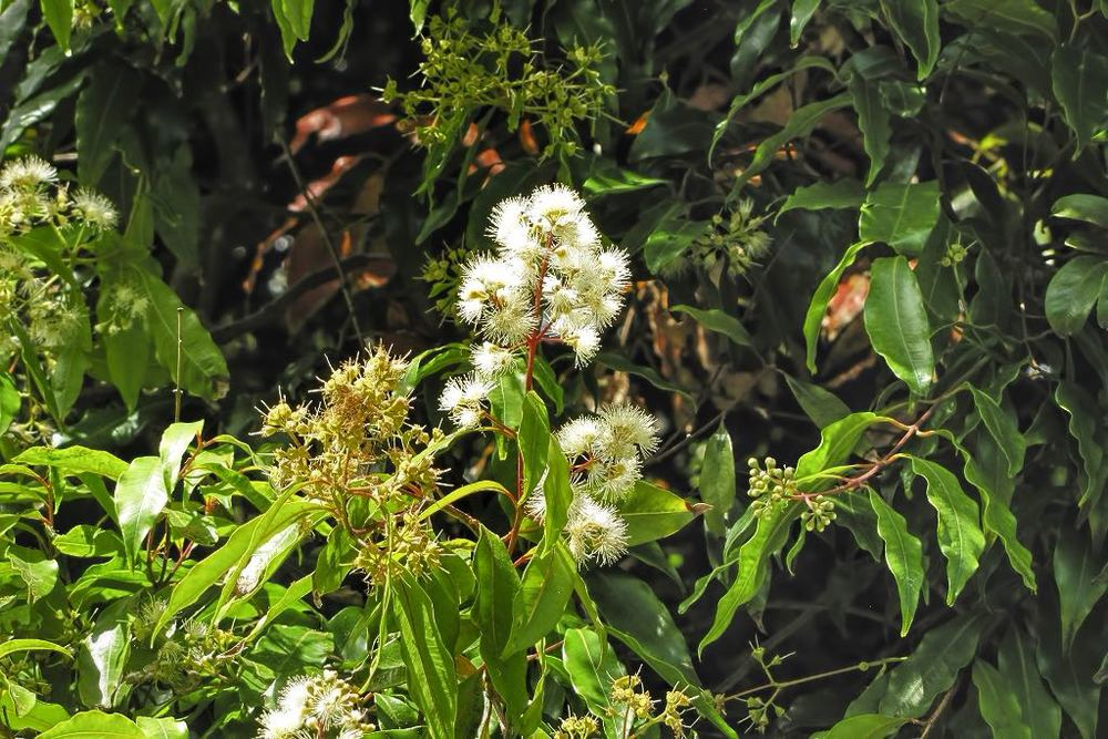 Waterhousea floribunda-rq-20140611-1c.jpg
