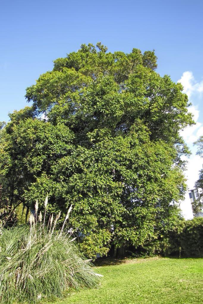 Waterhousea floribunda-rq-20140108-1g.jpg
