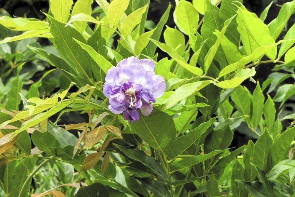 Wisteria sinensis-rq-20130915-1b.jpg