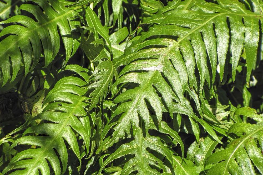 Woodwardia radicans-rq-20130411-1c.jpg