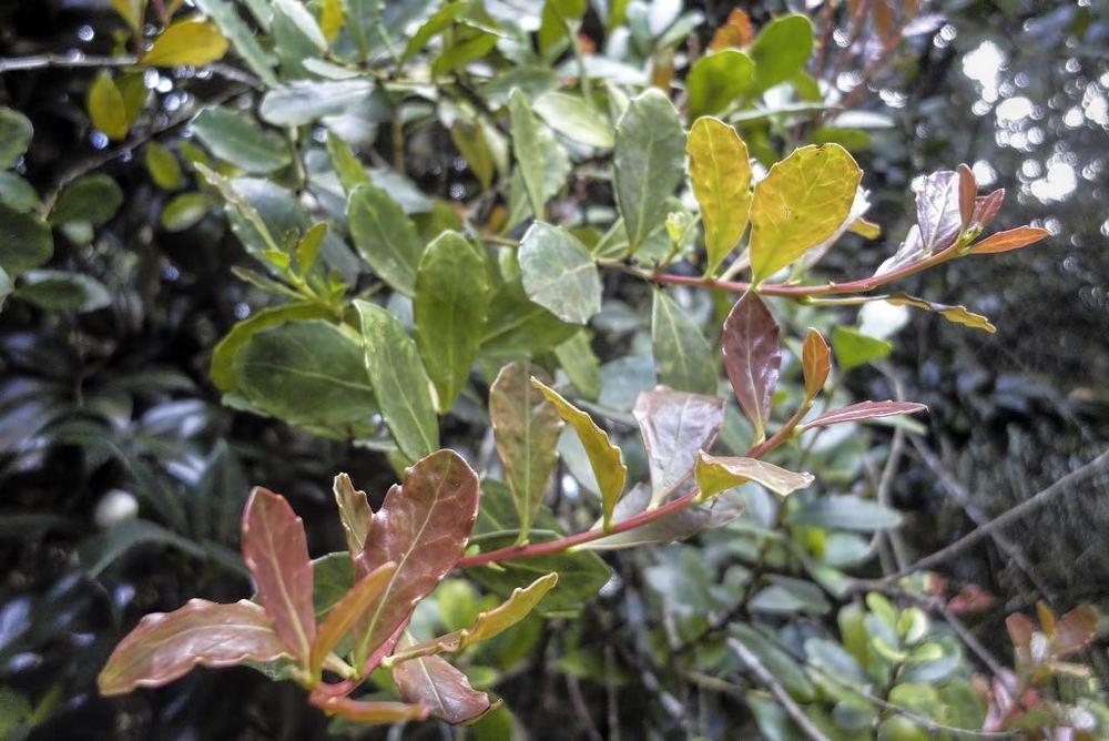 Maytenus canariensis-rq-20140303-1a.jpg