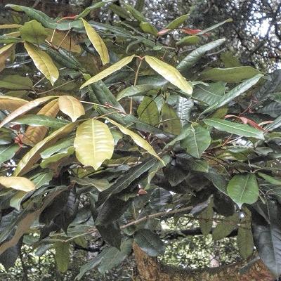 Cryptocarya murrayi