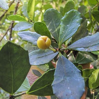 Maytenus canariensis
