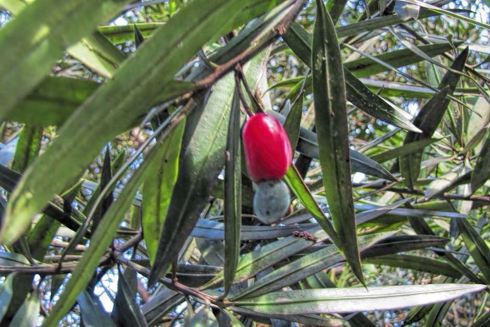 Podocarpus macrophyllus-rq-20150129-1a.jpg